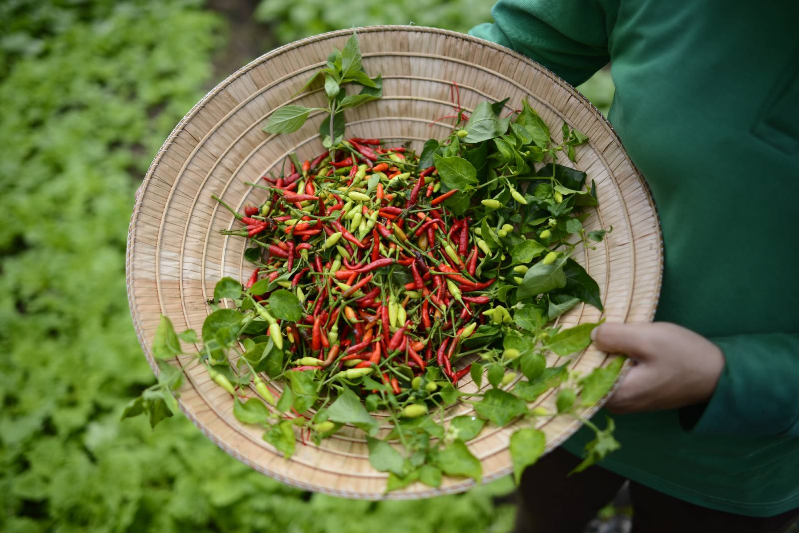 conical hat full of freshly harvested chilies